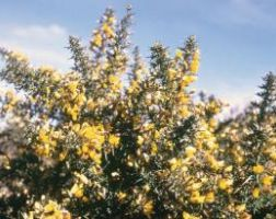 Pest Plants Gorse